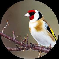 kuşçu